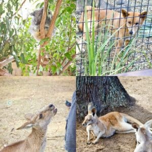 Brisbane Travel- Lone Pine Koala Sanctuary