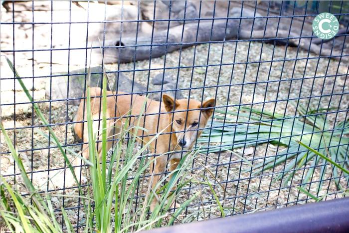 dingo at lone pine koala sanctuary exhibit