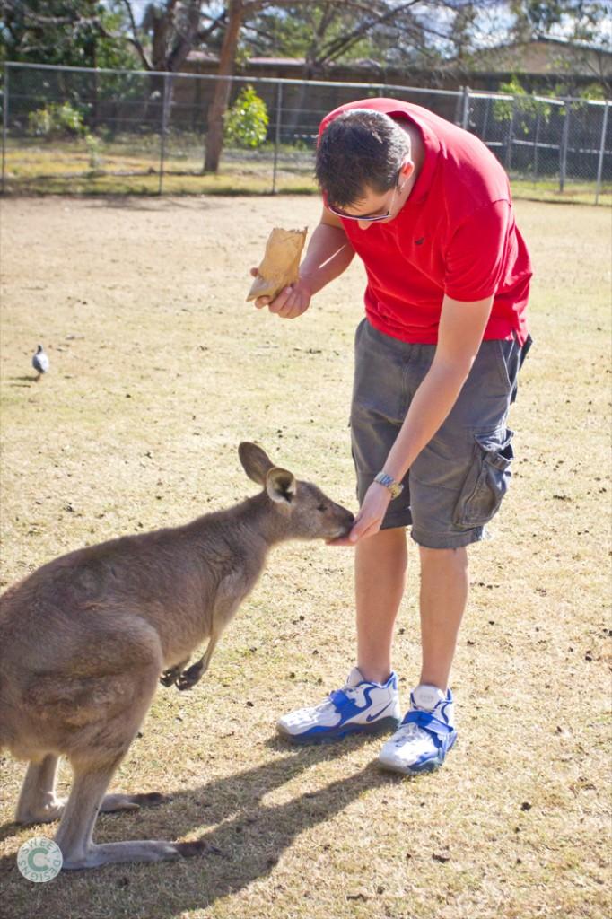 feeding the roos at lone pine koala sanctuary