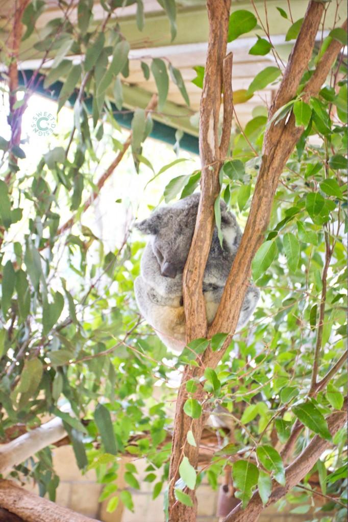 kapping koala at lone pine koala sanctuary in brisbane- get up close to koalas kangaroos and other australian animals here!