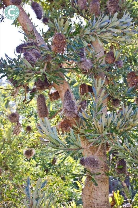 tree in botanic gardens, sydney