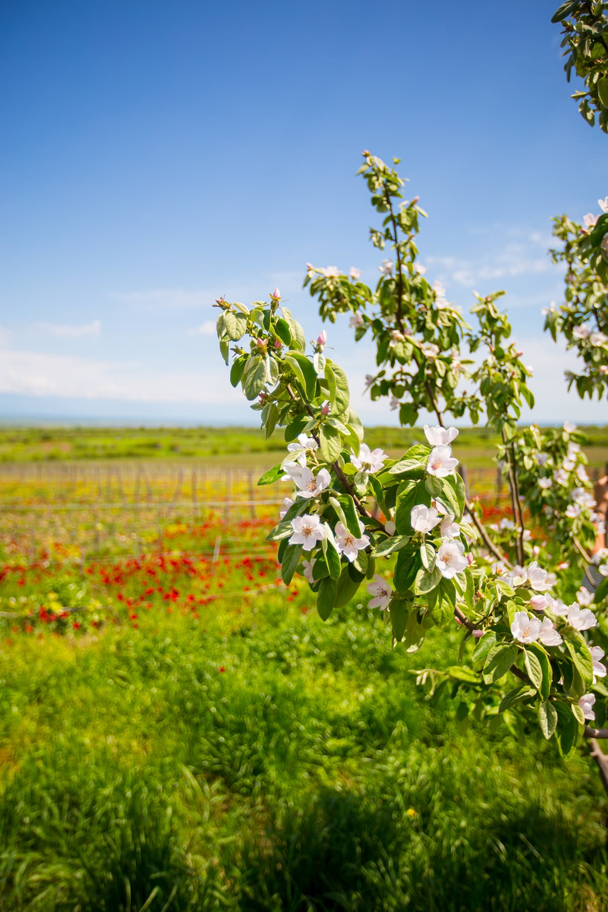 Blossoms in vineyard, Khaketi Region, Georgia