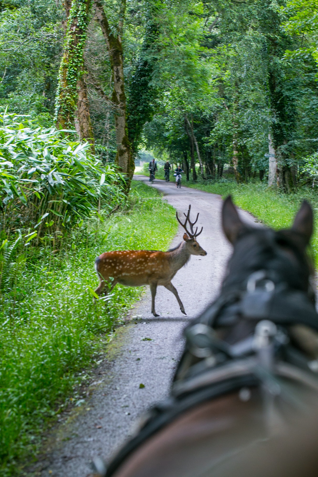 Small deer, Killarney National Park, Ireland